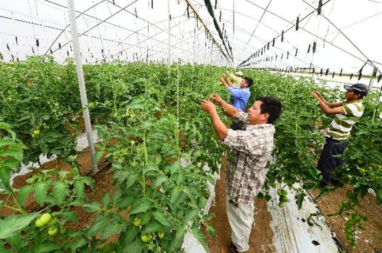 TOMATESA utiliza el mecanismo orgánico desde hace siete años. A la semana produce tres mil libras de tomate y lo vende a supermercados y restaurantes.