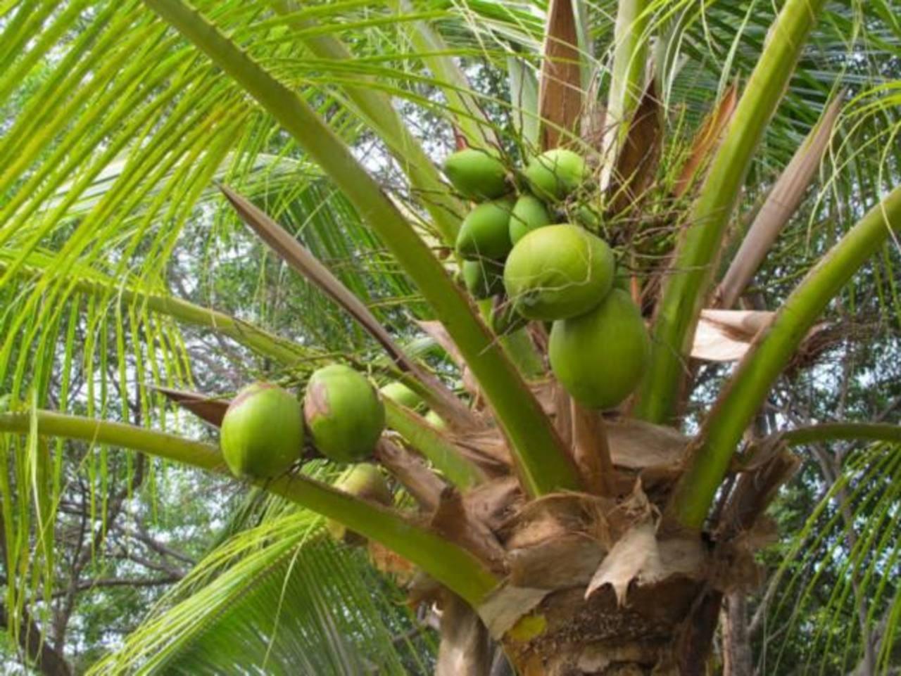 Alto del Pacífico es la variedad de plantas cocoteras sembradas en el país, en donde existen unas 7,000 hectáreas cultivadas. El 65% está en la Bahía de Jiquilisco, Usulután. foto edh/archivo