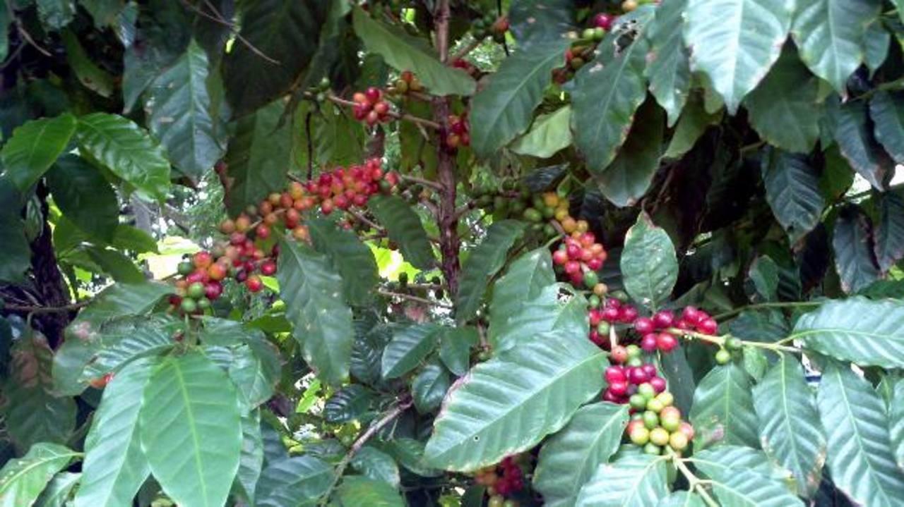 El rubro del café y otros cultivos serán los más beneficiados del programa. Foto edh / archivo