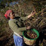 Las cortas de café que han generado ingresos para miles de familias se verán disminuidas. foto edh / archivo
