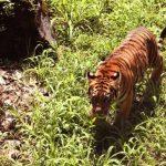 Fotos: Zoológico suma tigre de bengala y jaguar a colección