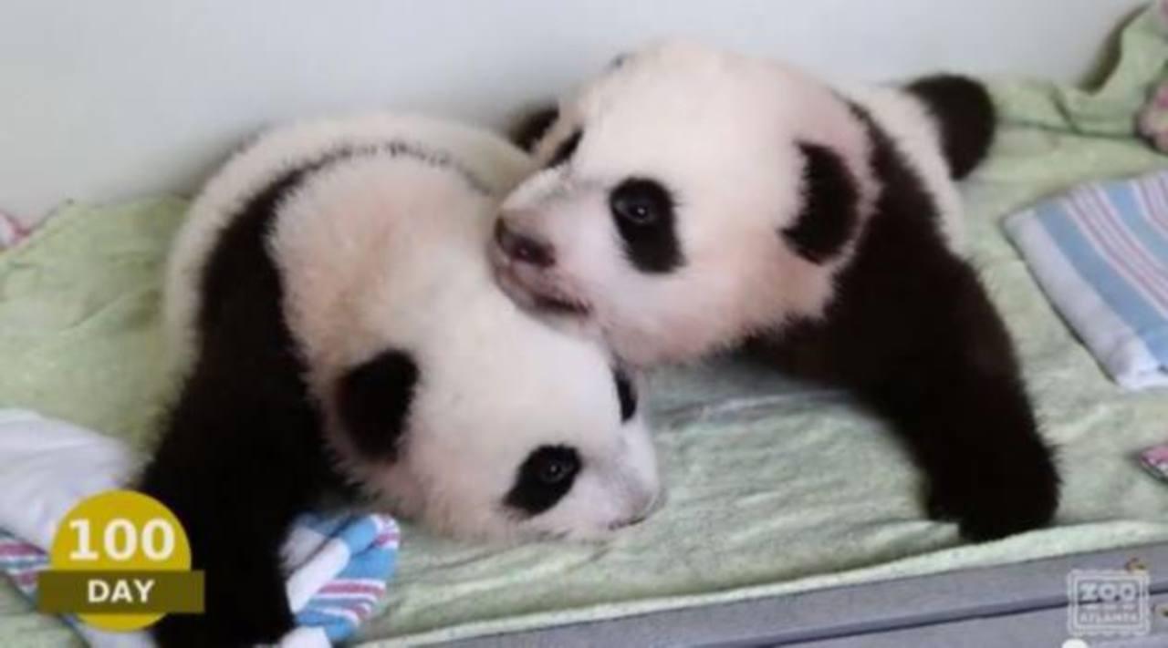 Video: Muestran primeros 100 días de crías pandas