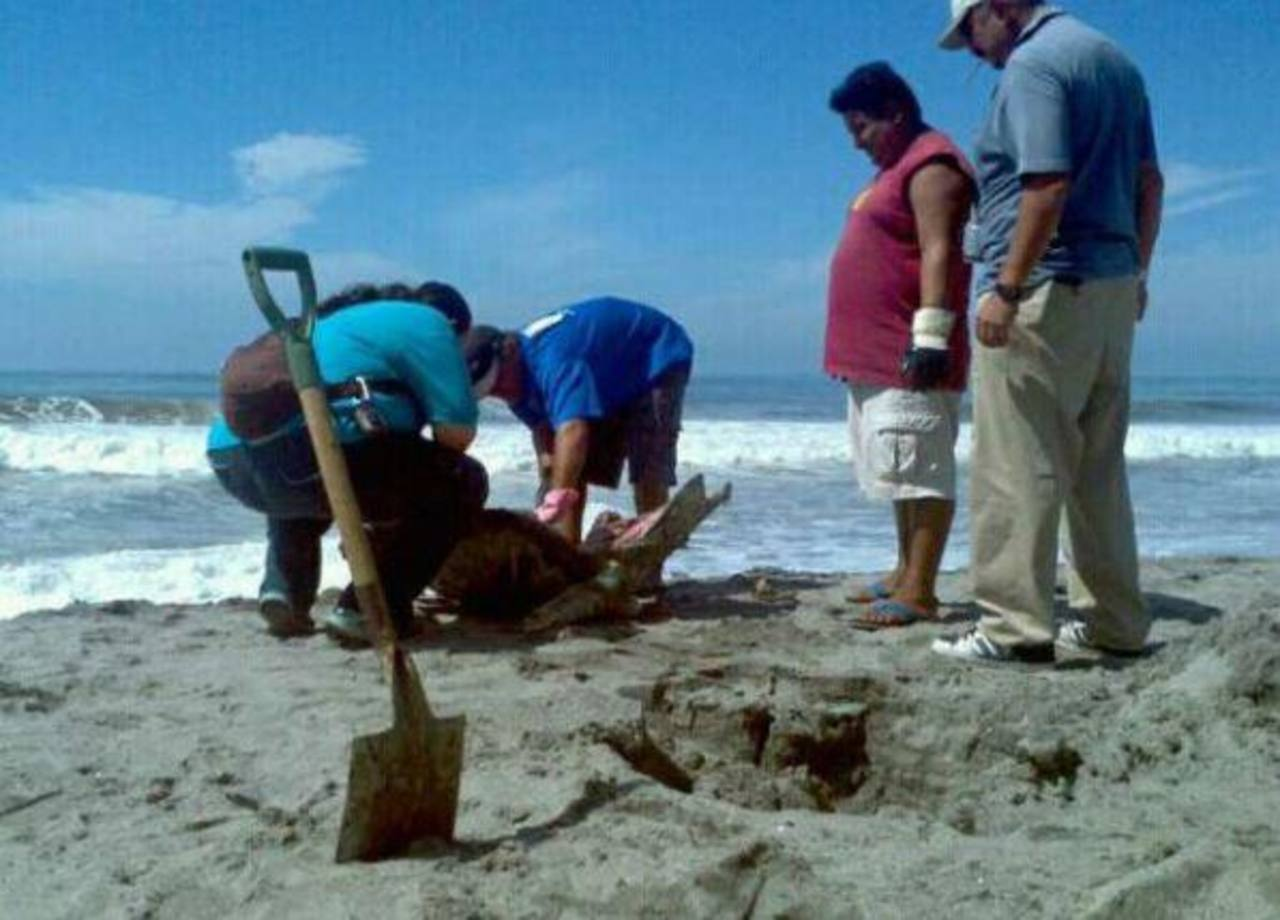 Una de las tortugas halladas en playa San Diego, La Libertad