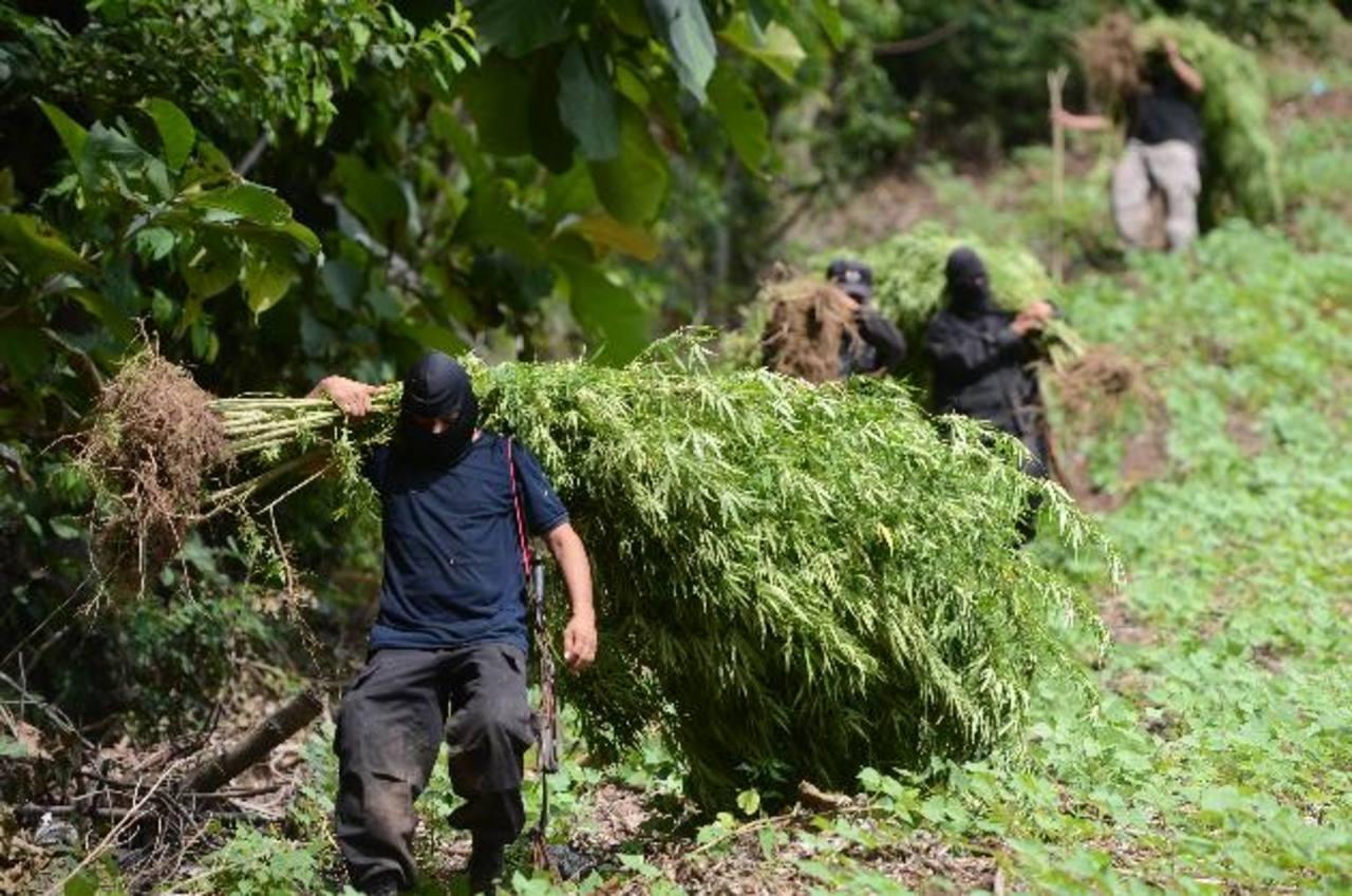 Los agentes antinarcóticos de la PNC descubrieron la plantación de marihuana en Chiltiupán, La Libertad.Foto EDH/jaime anaya