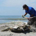 Desde finales de septiembre al menos 201 tortugas marinas fueron halladas muertas en la costa salvadoreña, dijo el MARN. Foto/ Archivo