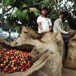 Los precios del café han seguido a la baja. FOTOS EDH / ARCHIVO