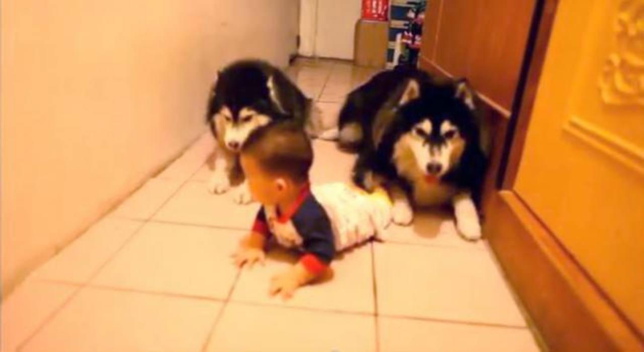Videos: ¿Perros imitan gateo de bebé?