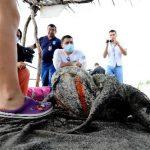Las tortugas carey, golfina, prieta y baule están en peligro de extinción. La prieta ha sido la más afectada los últimos días.