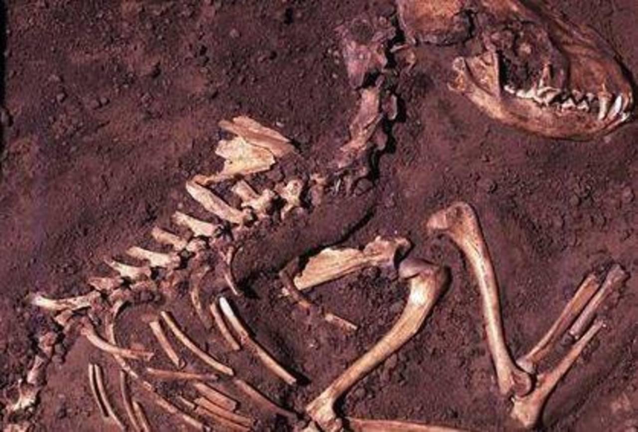 Un estudio de ADN sugiere que el perro surgió del lobo en Europa hace 19,000 a 32,000 años. Foto/ AP