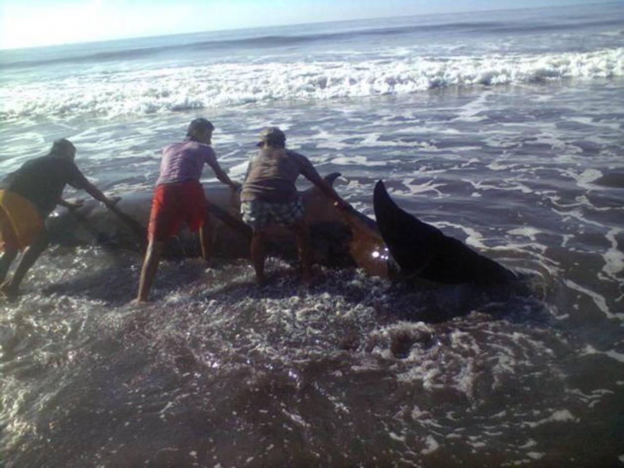 El cetáceo aparecido aún con vida en Barra Salada tenía 4.5 metros de largo. Foto EDH / cortesia