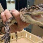 El reptil se encuentra ahora en la Sociedad Herpetológica de Chicago para su rehabilitación. Foto/ Archivo