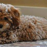 El cava-poo-chon, el perro que nunca dejará de ser cachorro. Foto/ AP