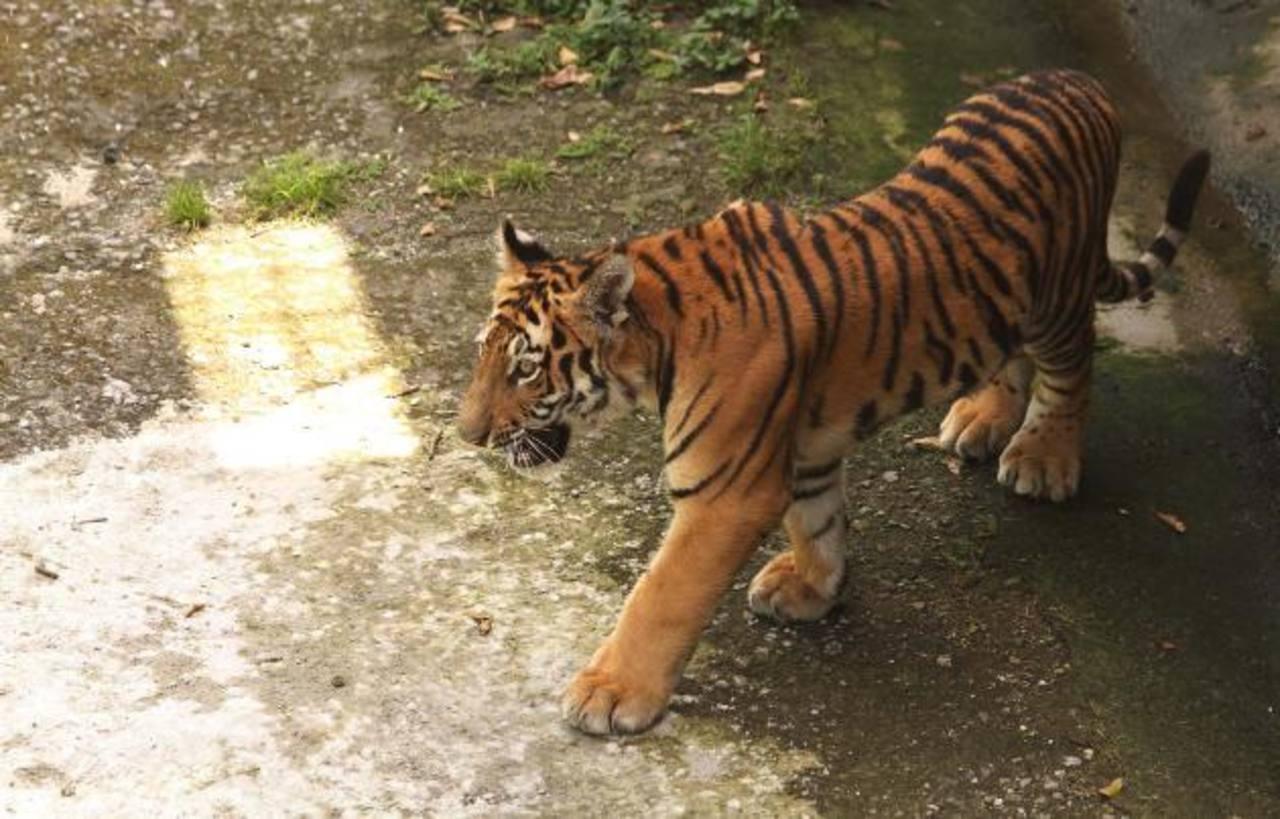 Un tigre de bengala macho de ocho meses (Panthera tigris tigris) ya se encuentra en el parque. foto edh / cortesía