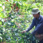 Las cosechas de esta temporada, como las cortas de café y la zafra, no atraen a trabajadores de Costa Rica.