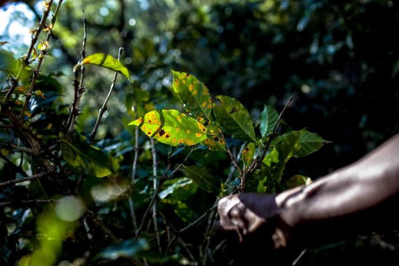 En El Salvador, más del 75 % de las plantaciones fueron afectadas por la plaga de la roya del café . foto edh / archivo