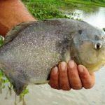 Víctimas fueron objeto de mordeduras de un cardumen de peces de la familia de las pirañas. FOTO EDH Agencias.