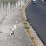 La imagen del pavo fue captada en las cercanías de la UCA, en el contexto de la Navidad. Foto cortesía @camorales80