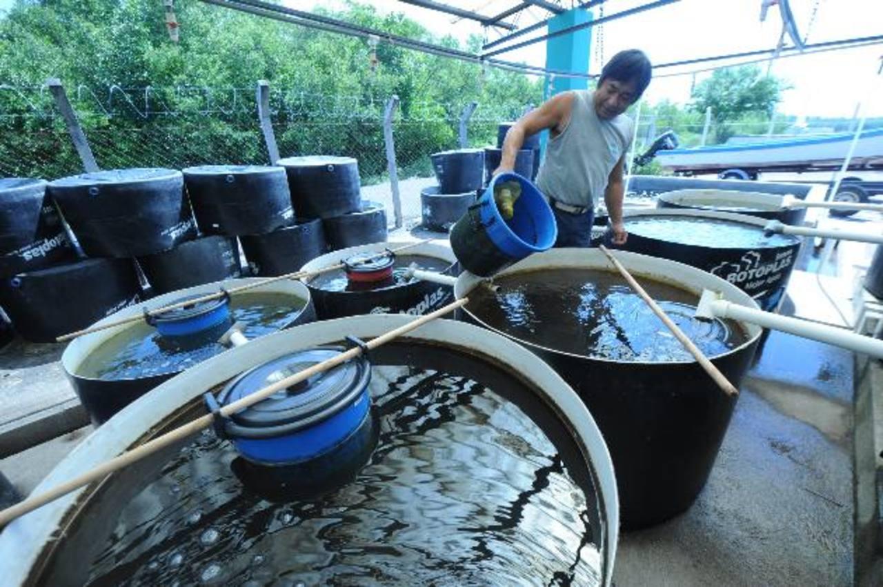 Cada tanque contiene cerca de 2 millones y medio de larvas de curiles. Son alimentados con micro algas cultivadas en el laboratorio para asegurar su calidad. foto EDH / Lissette monterrosa