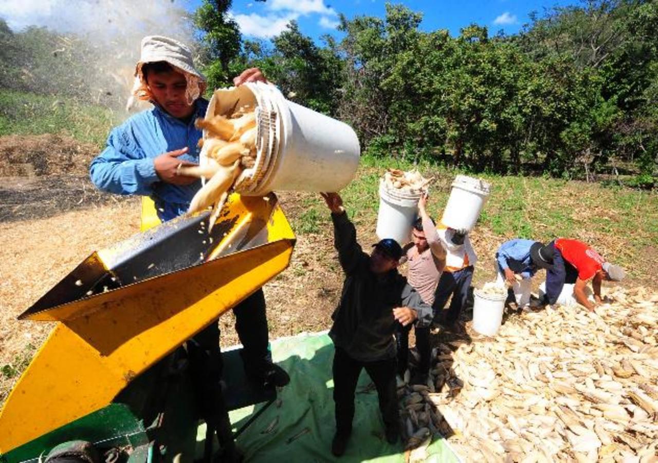 El MAG estima que la oferta comercial de maíz blanco, a través de los 12 centros de acopio que hay en el país son alrededor de 260 mil quintales por cada ciclo agrícola. foto edh / archivo