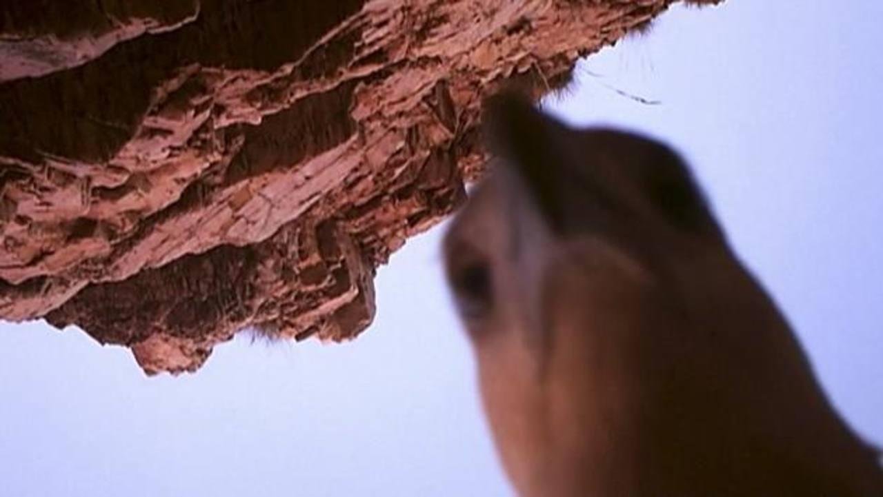 Un ave observa una cámara que fue dejada junto a un río para grabar cocodrilos. Foto/ AP