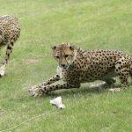 Dos chitas del Zoológico Nacional del Smithsonian en Washington habrían matado a un venado, según autoridades del parque. Foto/ Archivo