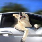 Fotos: Perritos viajando en ventanas de autos son motivo de calendario