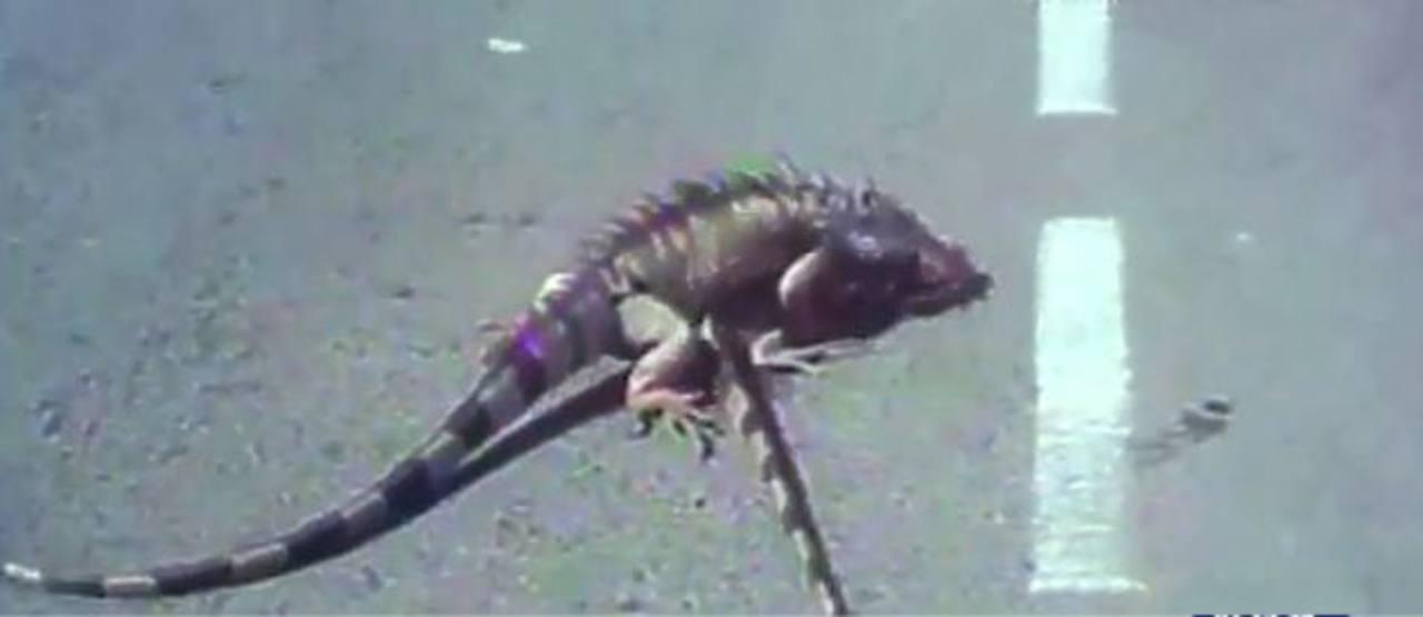 Video: Iguana rescata los restos de su compañera atropellada