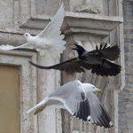 Una paloma perdió algunas plumas cuando logró soltarse de la gaviota. Sin embargo, el cuervo picoteo repetidamente a la otra paloma. Foto/ AP