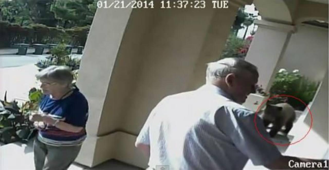 "Video: Oso utiliza técnica ""ninja"" y logra pasar desapercibido"