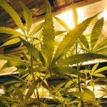 Nueva York permitiría uso limitado de marihuana medicinal