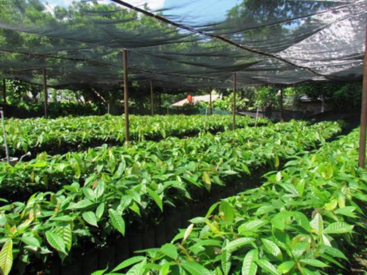 Vivero de cacaotal de la especie fino de aroma que se cultiva y que tiene alto potencial de exportación. FOTO EDH / cortesía