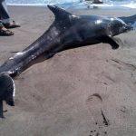 Murió el delfín hembra hallado en playa San Diego, La Libertad. Foto cortesía de @MARN_Oficial_SV