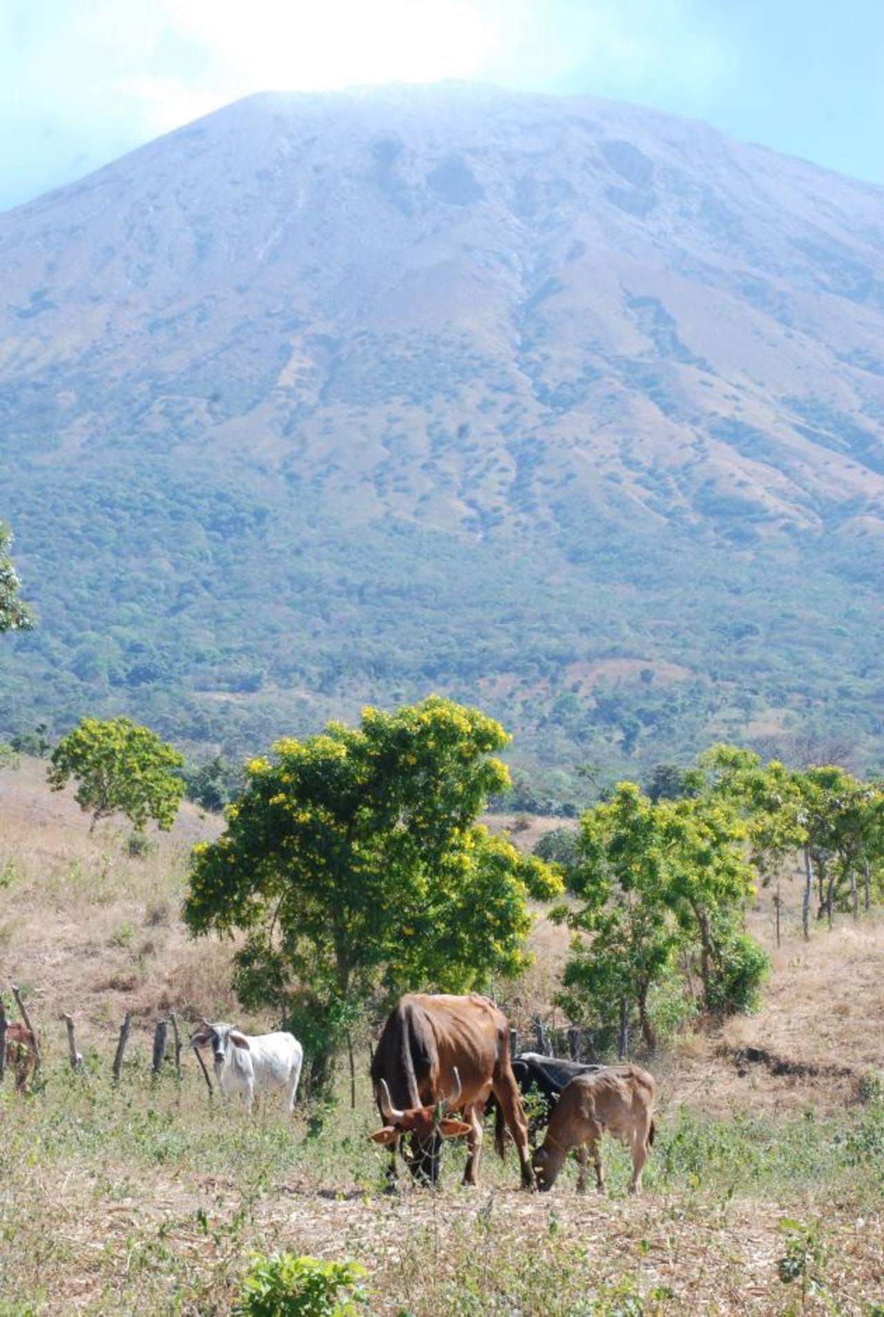Según datos recopilados por autoridades, el 80 % de los pastizales ha sido dañado por la ceniza. Foto EDH/Carlos Segovia