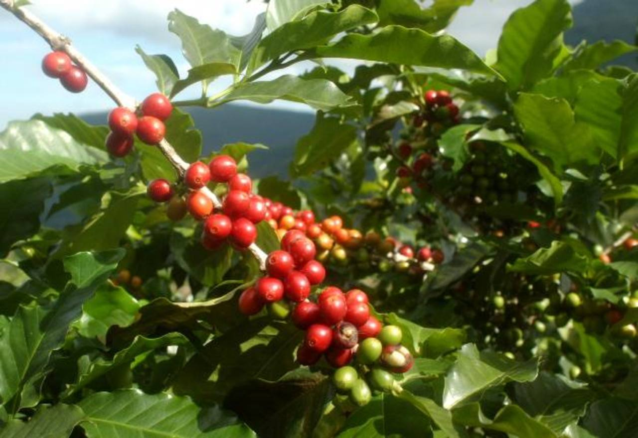 Café gourmet afectado con roya busca mercado taiwanés