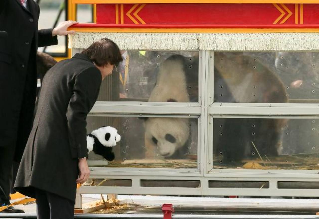 El primer ministro belga, Elio Di Rupo, y los vicepresidentes Pieter De Crem y Alexander De Croo encabezaron el acto de bienvenida de los dos osos panda. Foto/ EFE