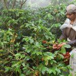 La cosecha de café se ha visto afectada por la plaga de roya. Este será uno de los peores años para los caficultores y para miles de jornaleros. foto edh / Archivo