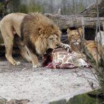 Los restos de la jirafa Marius son devorados por los leones después de que fue sacrificado en el zoológico de Copenhague