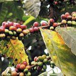 """Centroamérica está cerca del cierre de su cosecha 2013/14, su segundo y peor año de infestación por el hongo conocido como """"roya"""", que alcanzó elevaciones más altas que nunca. El hongo ataca las hojas de la planta de café, matándola o reduciendo la c"""