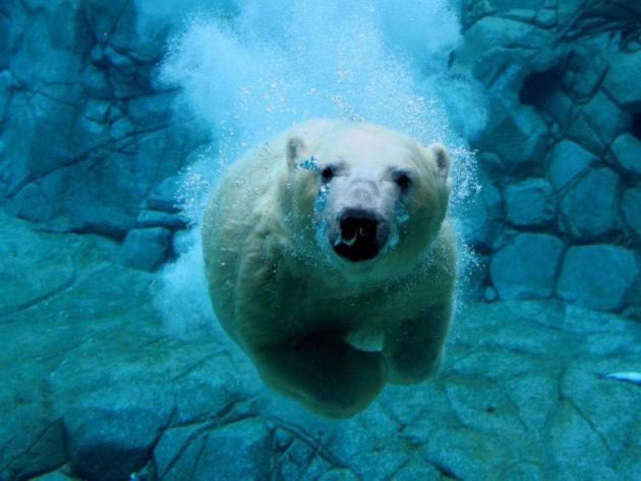 El oso polar es una especie en peligro de extinción debido al calentamiento global.