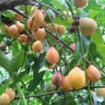 El achachairúe es una fruta muy apetecida por los bolivianos, que la usan para producir refrescos, helados y postres.