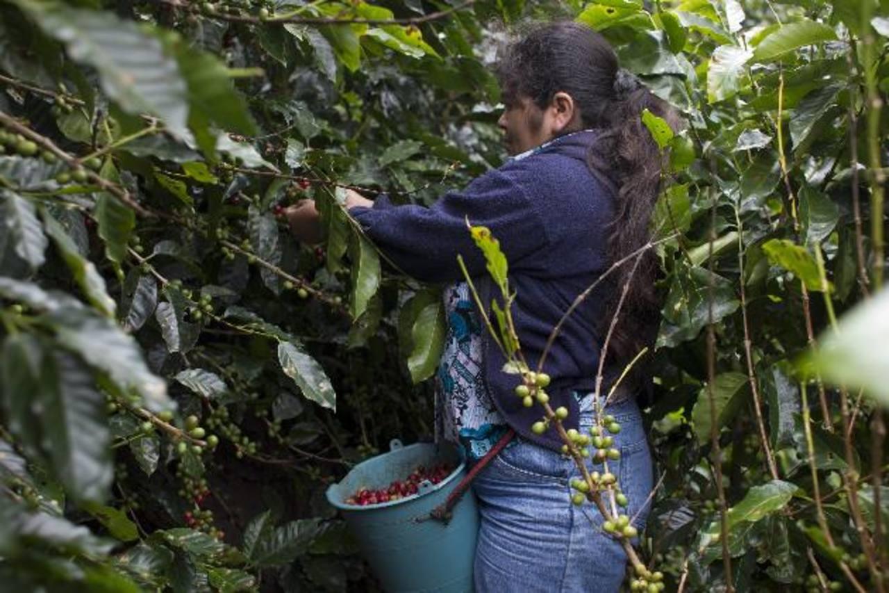 Daño por roya en café centroamericano es menor a esperado