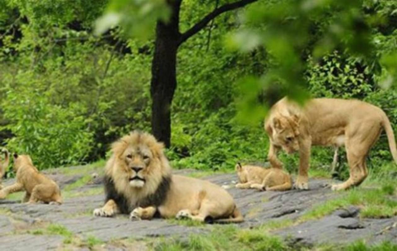 Después de sacrificar jirafa, ahora zoológico mata a 4 leones