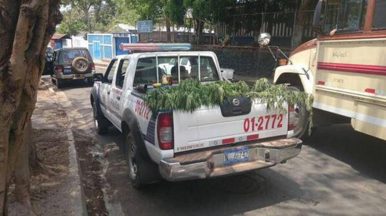 Autoridades confiscan más de 850 plantas de marihuana