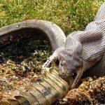 Una pitón devora a un cocodrilo australiano. Foto tomada de internet