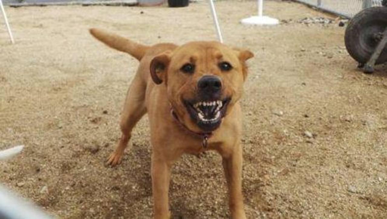 El ladrido de los perros causa muchas fricciones entre vecinos y puede ser la causa de que una persona no adopte a un animal. Foto/ AP