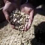 Las producción de café nacional se ha reducido en más del 50 % por la roya. Foto EDH /archivo