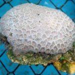 Una proteína del coral australiano bloquea el VIH