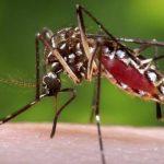 El zancudo Aedes aegypti es el mosquito que transmite el dengue a través de una picada. FOTO edh / ARCHIVO