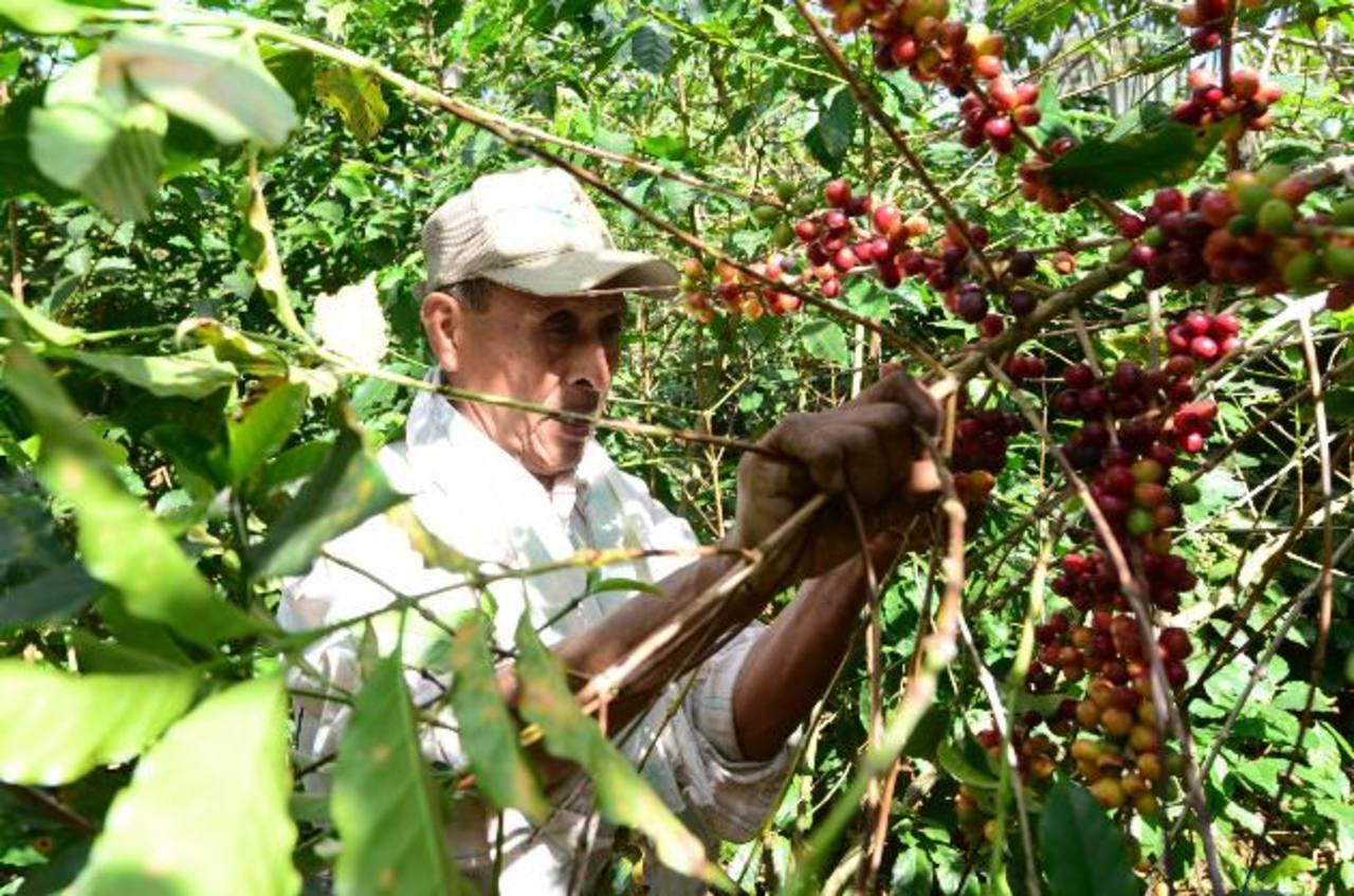 La cosecha del café se ha visto altamente afectada por cambios climáticos y la plaga de la roya. foto edh/ ARCHIVO