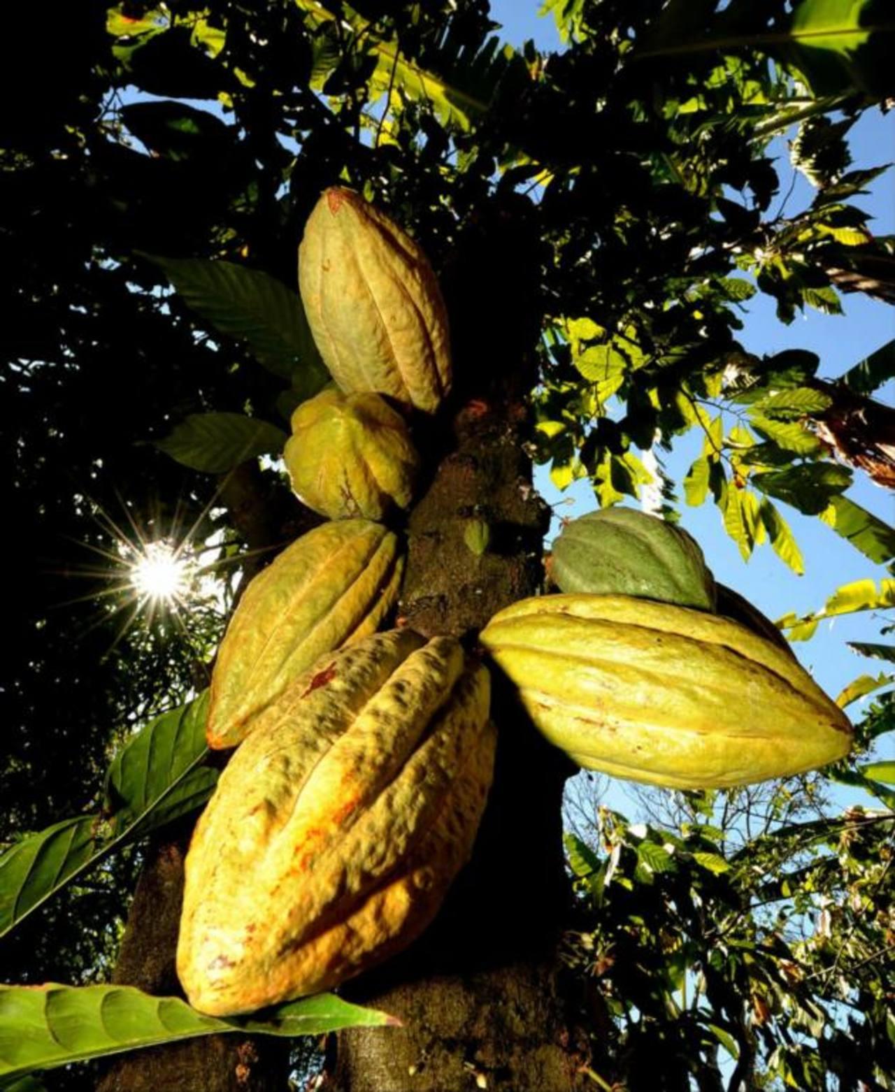 La cooperativa de productores de cacao sugiere elevar a política pública el cultivo de este grano.foto edh / cortesía